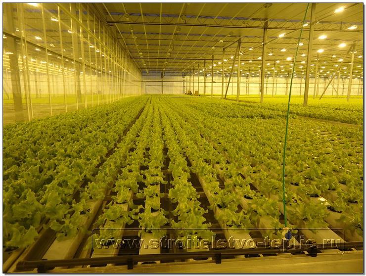 Выращивание салата в тепли фото