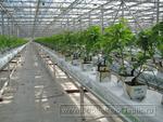 Выращивание растений: на подвесных лотках в промышленных теплицах
