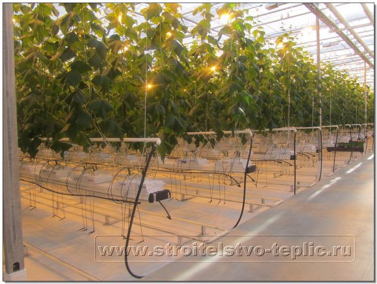 Выращивание светокультуры огурца