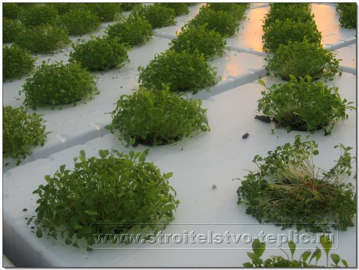 Растения рукколы