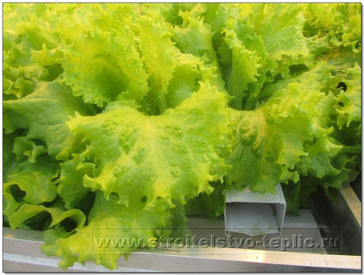 Выращивание салата по проточной технологии