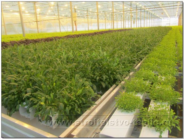 Выращивание рукколы по проточной технологии