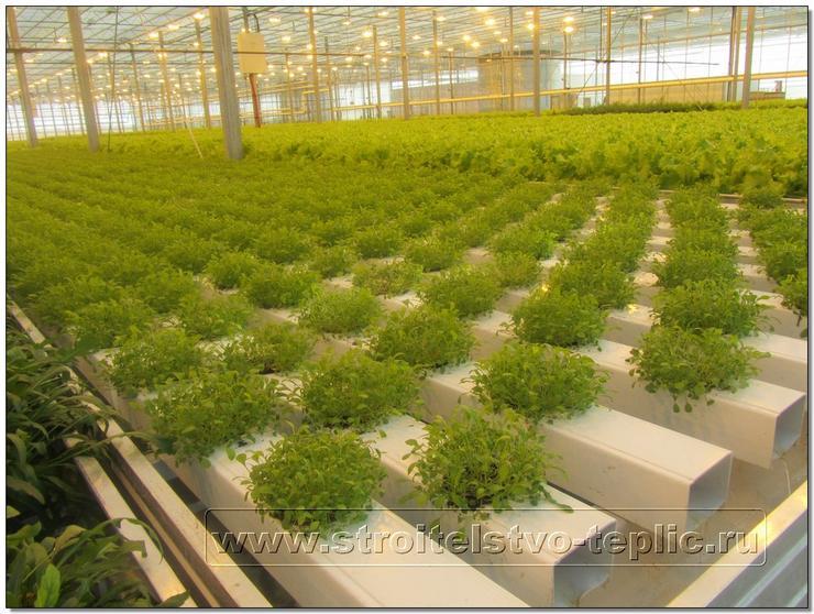 Молодые растения рукколы