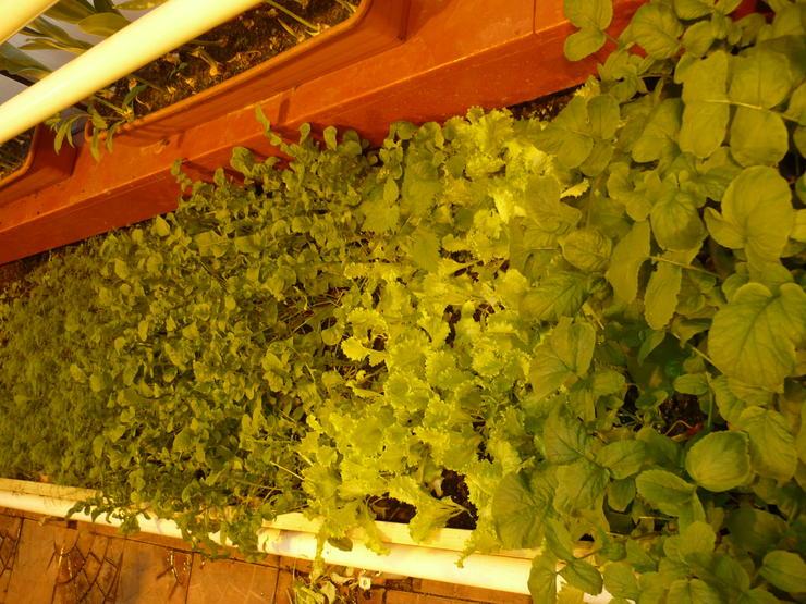 Салат и зелень в январе