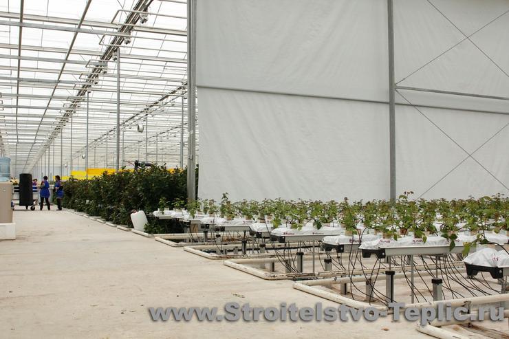 Выращивание роз в промышленной теплице