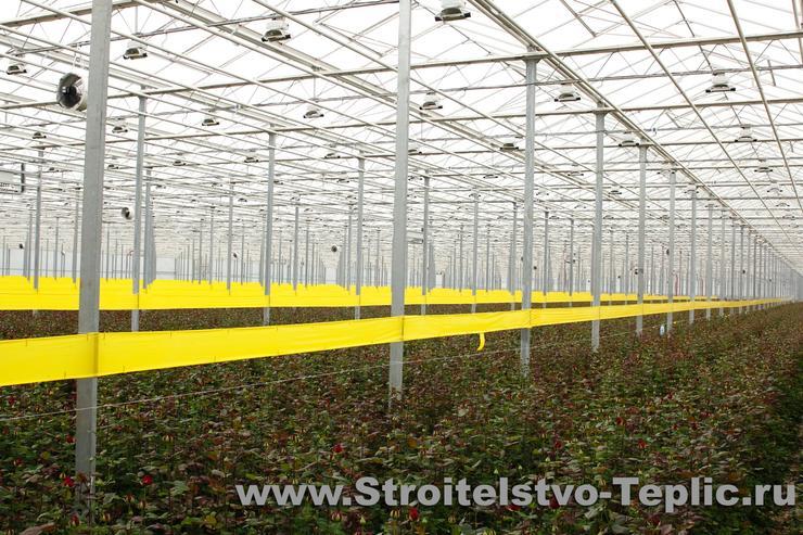 Выращивание роз на срез в промышленной теплице